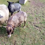 Brown Ewe (4 year old)