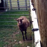 Brown Ewe (2 year old)