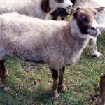 Brown Ewe (2yo)