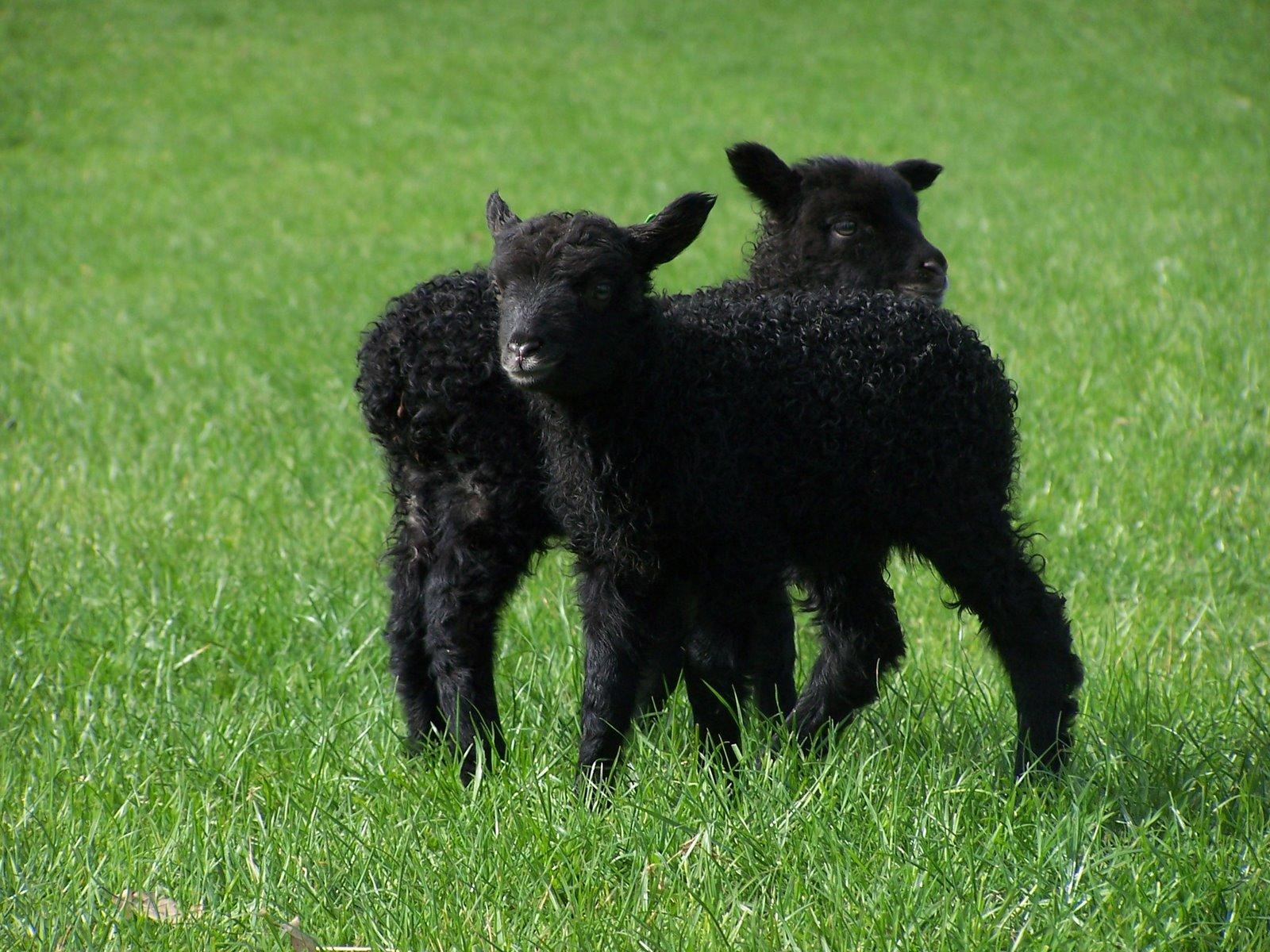 Black Lambs