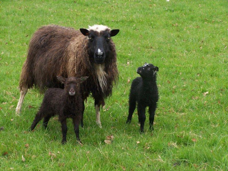 gallardia+lambs